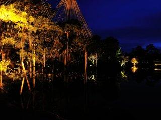 Cây thông đen này đã mọc lên từ hạt giống của một cây Thông Karasaki mọc bên Hồ Biwa