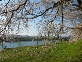 Peeking through the blossoms