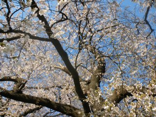 Cherry blossoms every which way you look