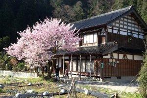A traditional Minshuku stay house during cherry blossom season