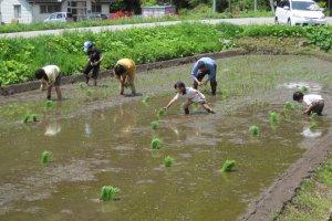 Aktivitas menanam padi bersama