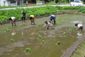 Rice gathering activity