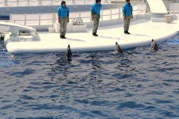 عرض الدلافين في أكواريوم كيوتو
