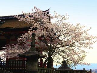 Pohon sakura cantik di samping gerbang