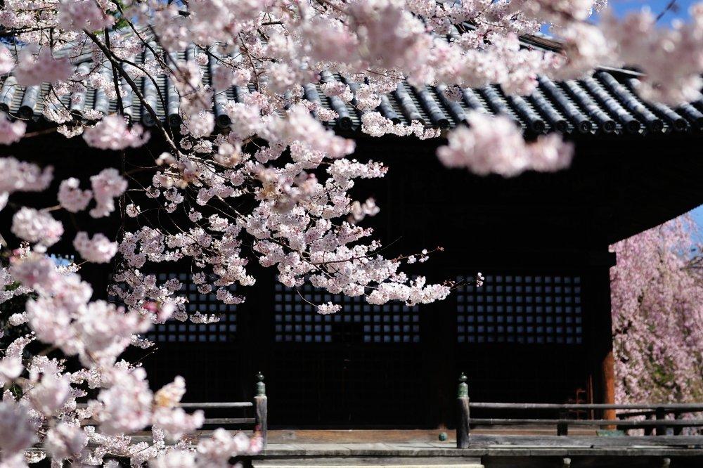 Bunga sakura berwarna pink di depan Ruang Gomado yang terlihat seolah sedang menari di udara
