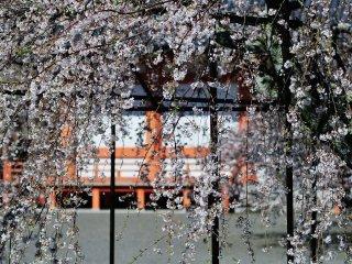 Dahan pohon sakura yang menjulur seperti tirai