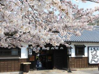Yamadaya dan bunga sakura yang sedang mekar