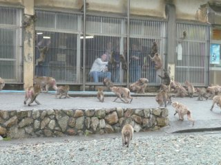 Visitors can safely hand-feed the monkeys from behind a cage wall.