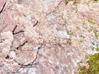 ในขณะที่ผมเดินใต้ต้นวิปปิ้งซากุระ กิ่งดอกที่ห้อยระย้าลูบไล้บนบ่าของผม ทำให้รู้สึกผ่อนคลาย