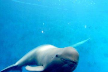 <p>Finless porpoise</p>