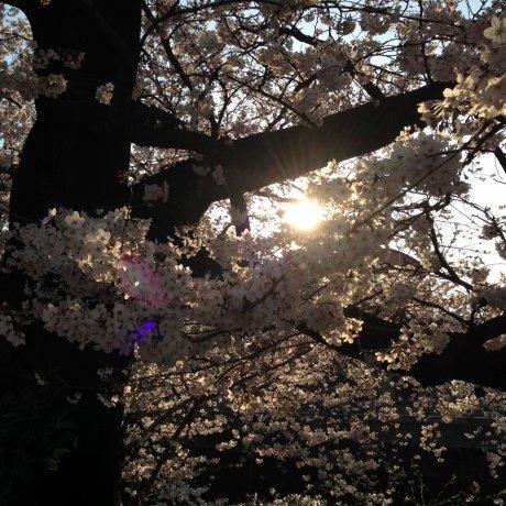Shakujigawa Sakura at Sunset