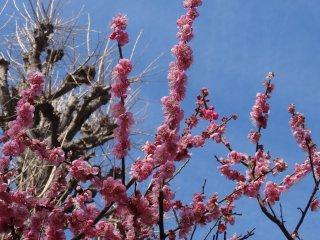 ดอกพลัมสีชมพูหอมหวาน