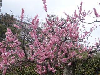 ดอกพลัมสีชมพูเข้ม