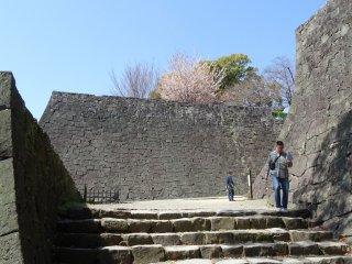 ซากุระบนกำแพงปราสาท