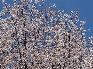 ดอกซากุระที่ปราสาทคุมะโมะโตะ