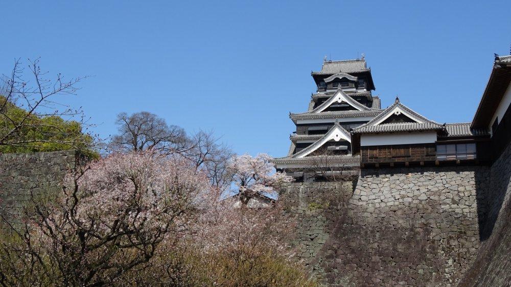 ภาพปราสาทคุมะโมะโตะกับดอกซากุระซึ่งมีฉากหลังเป็นท้องฟ้าสดใส สวยงามยากจะลืมเลือน