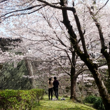 Cherry Blossoms in Bloom at Kumamoto Castle