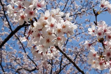 <p>This weekend (March 28th-29th, 2015) saw the flowers hit full bloom</p>
