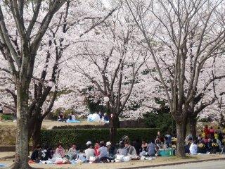 熊本城は最も人気のお花見スポット。