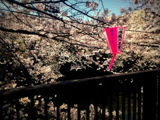 ... turn right at the river and enjoy the blossoms all the way to Nakameguro.