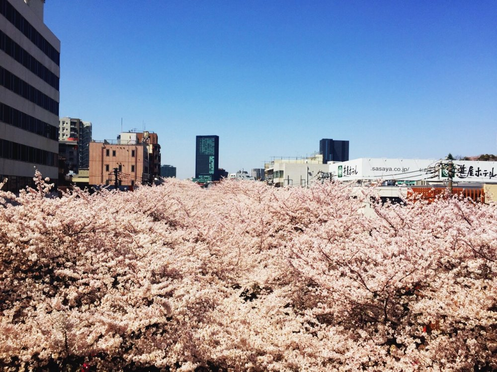 Option number one: get off at NakameguroStation. The view from the platform promises you an amazing hanami (cherry blossom viewing) experience.