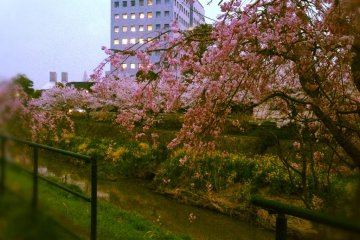Cherry blossoms by the river *2