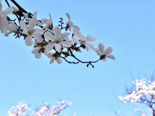満開の桜を背景に可憐に咲く白木蓮