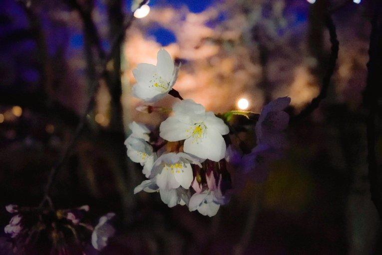 Hoa anh đào ở công viên trung tâm Tokushima