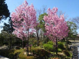 Cherry trees in bloom in the garden