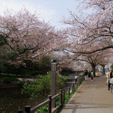 الساكورا في حديقة يوكوجاوا