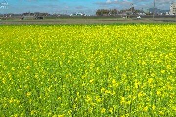 春の菜の花畑上空を飛ぶ