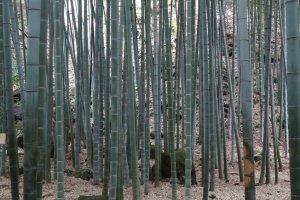 ป่าไผ่แห่งวัดโฮะโกะกุ-จิมีไผ่พันธ์โมะโสะ (moso) ซึ่งเป็นไผ่ที่มีถิ่นกำเนิดในประเทศจีนถึง 2000 กว่าต้น