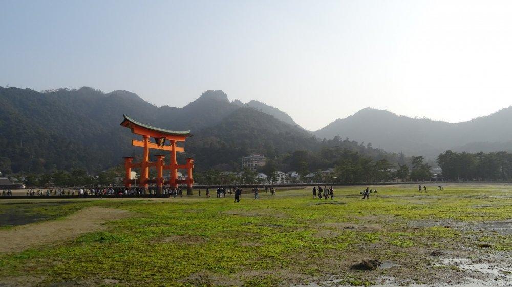 ช่วงน้ำลง ประตูโทริสีแดงสัญลักษณ์ของมิยะจิมะ ดูเหมือนตั้งอยู่บนสนามหญ้าสีเขียวสด