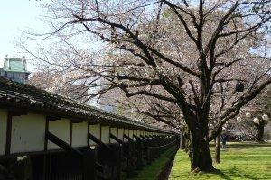 ต้นซากุระตามแนวกำแพงของปราสาทคุมะโมะโตะ