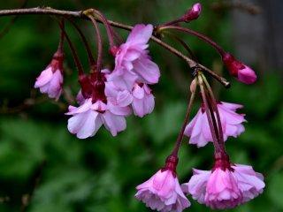 As belas e elegantes flores de Sakura
