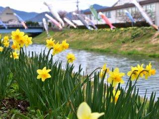 Hoa thuỷ tiên vàng đong đưa trong gió trên nền đa sắc của những con cá chép