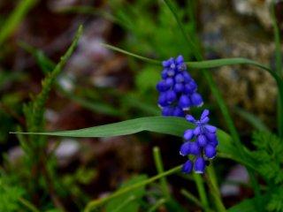 Bông hoa nho lục mình màu xanh biếc, một loài hoa thường nở vào mùa này trong năm.