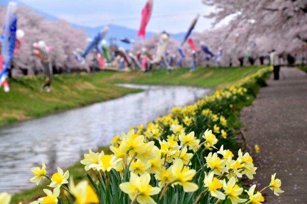 Con đường dọc bờ sông rợp bóng hoa anh đào, sắc vàng rực rỡ của hoa thủy tiên, những cánh diều cá chép đầy màu sắc tung tăng trên mặt sông. Một khung cảnh đẹp lạ thường!