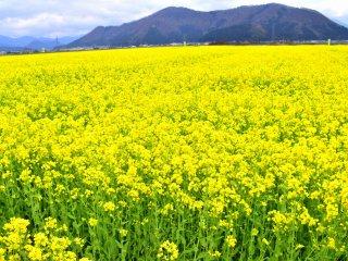 近付いてみると、遠くから見えた黄色は山裾までびっしりと敷き詰められた菜の花畑だった