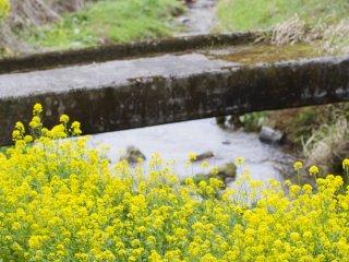 ดอกเรปซีดกับสะพานเก่าๆ