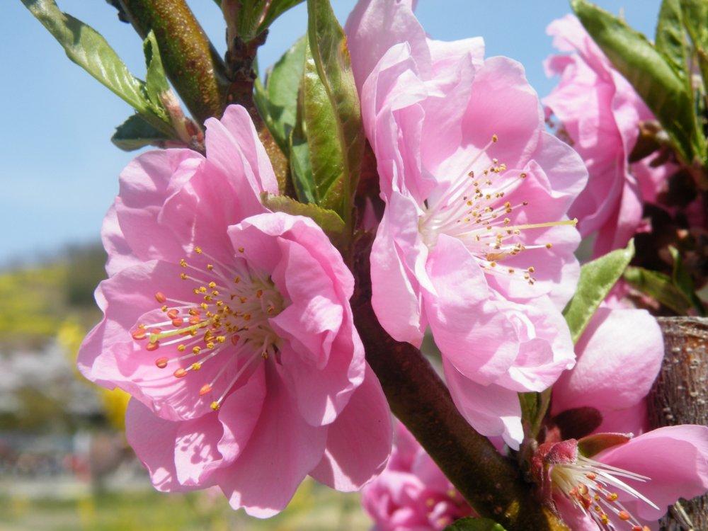 Sakura persik yang mekar, benar-benar cantik!