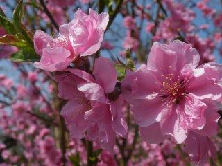 Sakura persik merah muda yang sedang mekar