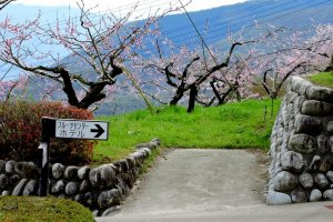 Pink blossoms in a peach orchard