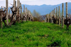 These vines were still dormant in early April