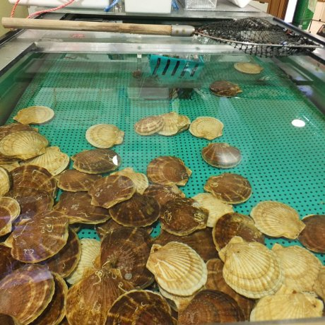ตกหอยเชลล์ยักษ์ ร้านโฮตาเตะโกยะ