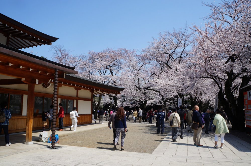 Cherry blossoms were everywhere