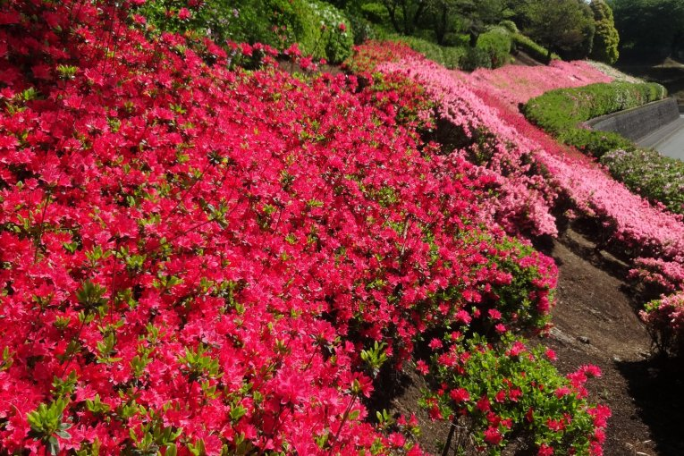 ดอกอะเซลเลียที่สวนโชวะ