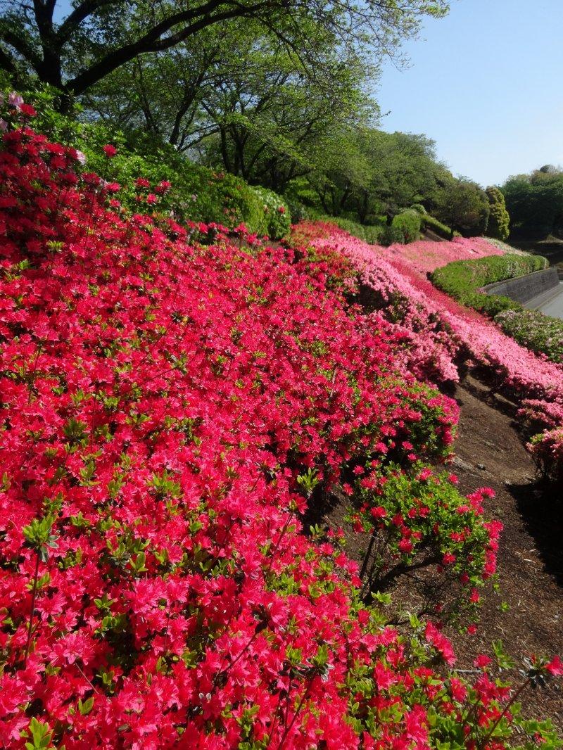 ดอกอะเซลเลียดาษดาเต็มเนินเขาที่สวนโชะวะในโอะสุ
