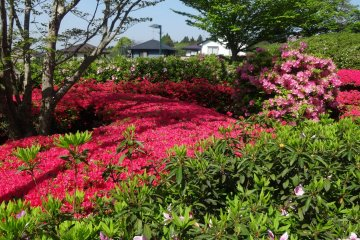 ปรกติแล้วดอกอะเซลเลียจะเบ่งบานระหว่างกลางเดือนเมษายนถึงต้นเดือนพฤษภาคม