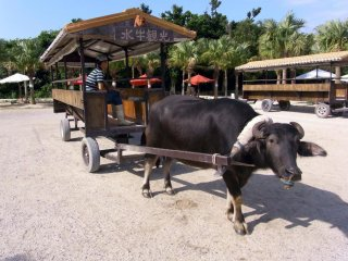 A popular way to get about the island is by water buffalo